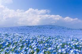 blue flower blue flower season in hitachi park japan tails of wonders