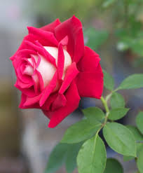 osiria rose information u2013 learn about the osiria hybrid tea rose