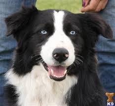 australian shepherd blue eyes 5267 best austrailian shepherds images on pinterest aussies