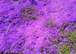 purple bed of flowers by soulloss on deviantart
