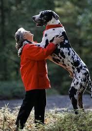 funny dog pics dalmatian dog breeders funny dogs