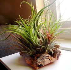 Indoor Plant Arrangements 165 Best Airplant Ideas Images On Pinterest Air Plants Indoor
