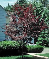 choosing ornamental trees