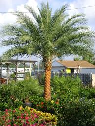 palm sunday palms for sale pygmy date palm tree cold hardy palms southern select palms