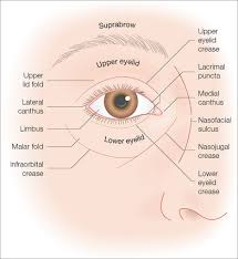 Surface Anatomy Eye Periocular Reconstruction Clinical Gate