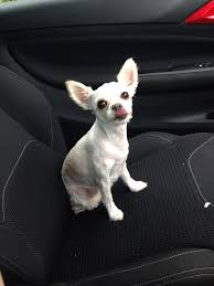 17 best images about sadie 17 best dogs images on pinterest doggies sadie and chihuahua