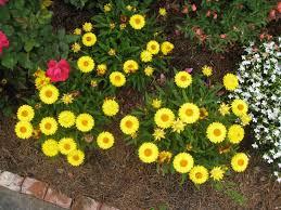 straw flowers online plant guide helichrysum bracteatum strawflowers