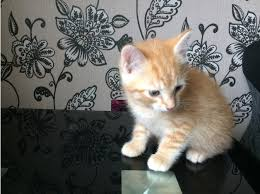 beautiful kittens motherwell free classified ads