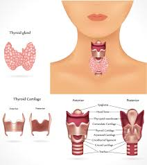 all about the underactive thyroid modern health and fitness