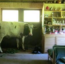 Wohnzimmer Fotos Eine Kuh Im Wohnzimmer Bilder U0026 Fotos Welt