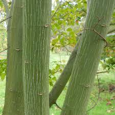 acer capillipes tree winter garden acer winter