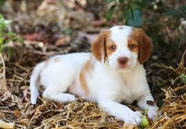 affenpinscher puppies for sale in ohio brittany puppies for sale akc puppyfinder