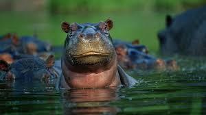 hippopotamus closeup water ngsversion 1396530570070 adapt 1900 1 jpg