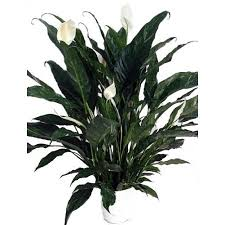 Peace Lily Plant Domino Peace Lily Plant Spathyphyllium New Easy 6