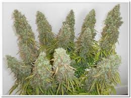 monster 271g think different grow by organic jim dutch passion
