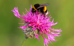 bumblebees can learn to pull strings for reward new study shows
