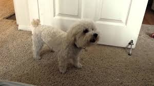 bichon frise 17 years old buddy growling session youtube