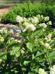 Scented Flowering Shrubs - native plants for michigan landscapes part 2 shrubs msu extension