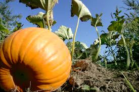 free halloween farm background 12 places to find pumpkins u2014 and fall fun u2014 in the dc area wtop