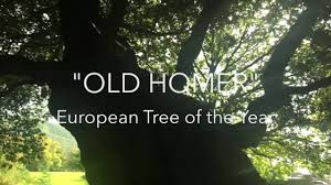 holm oak european tree of the year