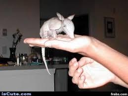 Armadillo Meme - baby armadillo meme generator captionator caption generator frabz