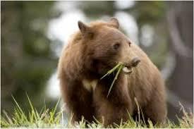 Are Bears Color Blind Black Bear Biology U0026 Behavior Western Wildlife Outreach