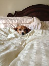 Animal In Bed Meme - 22 tired dogs that are definitely not letting you sleep in your bed