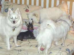 american eskimo dog gestation period angels from god chronicle a hole in the head
