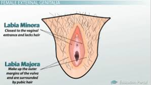 woman s virgina external anatomy of the female reproductive system video lesson
