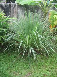 Ticks In Backyard Lemongrass Repels Fleas Ticks And Mosquitoes Plant In Pots And