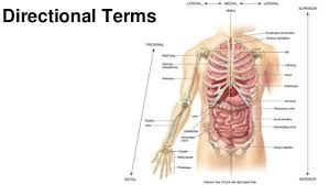 Images Of Human Anatomy And Physiology Anatomy And Physiology Introduction To The Human Body
