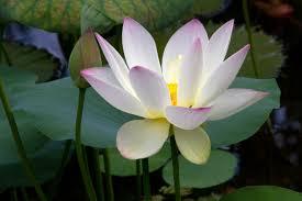 lotus flower pod photoshop pr energy