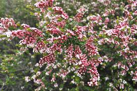 native victorian plants a passion for flowers thryptomene