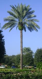 buy medjoole date palm trees for sale in orlando kissimmee