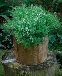 Herb Container Garden - six superb herbs for containers fine gardening
