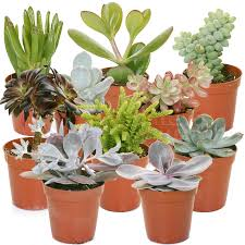gardenersdream succulent mixed house plants x 10 gardenersdream