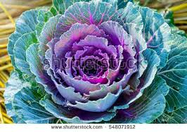 kale purple stock images royalty free images vectors