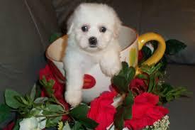 pomeranian x bichon frise sale bichon frise maltese poodle shih tzu designer breeds puppy