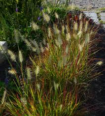 pennisetum burgundy bunny archives the obsessive neurotic gardener