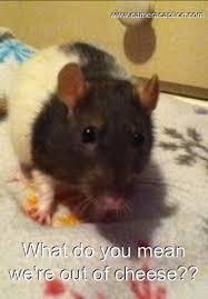 Rat Meme - my pet rat meme by nevturrex on deviantart