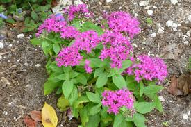 pentas flower a bunch of flowers plants from abaco bahamas rolling