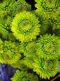 a bouquet of mums 2012 patterns pinterest green flowers