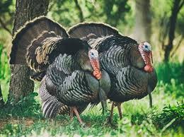 where to buy a farm fresh turkey in maryland