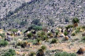 west texas native plants aoudad the bogus boogeyman circle ranch