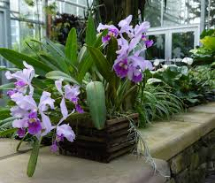 cattleya orchids the orchid column where do i cut my cattleya after it blooms