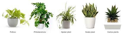 plant for office five disadvantages of best plants for