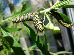 plants native to michigan how to help monarch butterflies without poisoning them