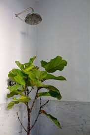 7 secrets how to save a dying fiddle leaf fig tree gardenista
