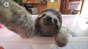 if sloths could take selfies they d look like this the verge