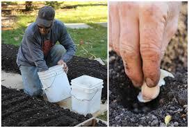 creative vegetable gardener what kind of garlic should you plant